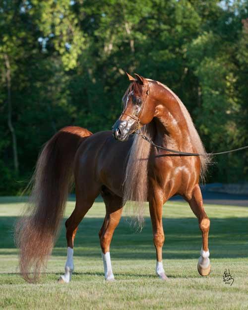 Red Chestnut Arabian Horse